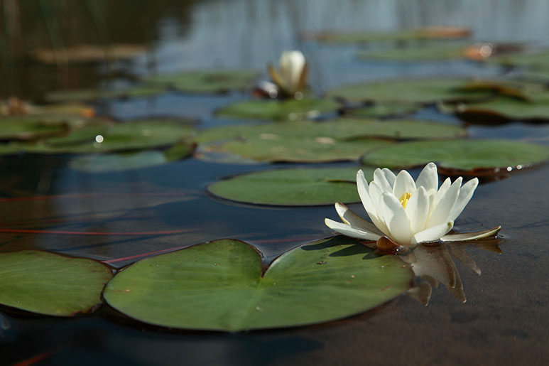 Water lily flower on pond.